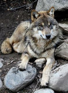 I don't like wolves....but I like this picture. Idk why