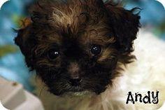 Cranford, NJ - Shih Tzu/Poodle (Miniature) Mix. Meet Andy, a puppy for adoption. http://www.adoptapet.com/pet/11960249-cranford-new-jersey-shih-tzu-mix