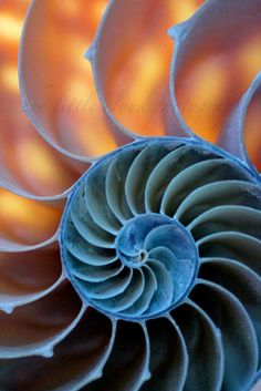 Shell Photography. 13x19 photo. art, blue, orange, sea shells, nautilus, ocean, nature, large print, geometric, modern, loft, decor. $39.00, via Etsy.