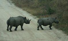 Pair of black rhino, Kruger National Park