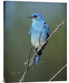 Mountain Bluebird Perching on Twig, North America