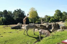 Girafe et zèbres - Beauval, Loir-et-Cher, France - 18 Sept. 2012