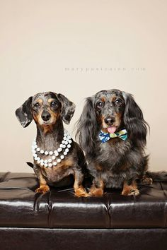 Dressed to the teeth and dating. #dogs #pets #Dachshunds…