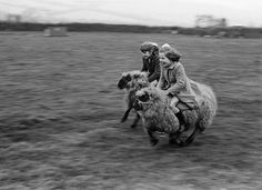 """Full Speed, 1969 Copyright of John Drysdale """"The lambs were bottle-fed by a Cornish farmer and became playmates for his daughters. When they grew into sheep, the girls enjoyed a few gentle rides, which eventually developed into full-tilt galloping."""""""