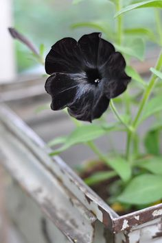 Beautiful black petunias. {Hwit Blog}