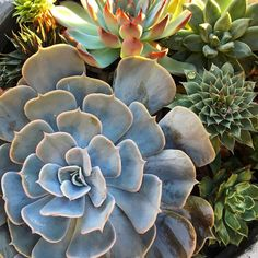 A bowl of rosettes I planted this spring- they're all looking good! Succulent Arrangements, Cacti And Succulents, Planting Succulents, Flower Pictures, Drought Tolerant, Echeveria, Air Plants, Rosettes, Rainbow Colors