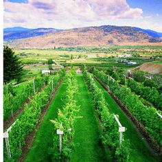The Vineyards  Okanagan Tourism Guide: Vacation Rentals, Wine Tasting, Camping & Okanagan Lakes    http://www.traveltocanadanow.com/okanagan.htm#