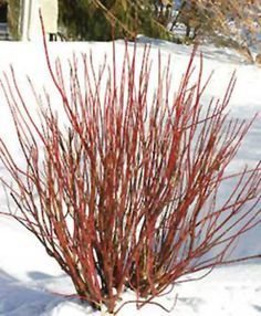 Shrubs Cornus sericea Arctic Fire® - Simply one of the best Red Osier Dogwoods to come along. More twiggy than others of its kind, the intensely red stems of Arctic Fire™ add great color to an otherwise dull winter landscape. Dogwood Shrub, Red Twig Dogwood, Dogwood Trees, Bushes And Shrubs, Garden Shrubs, Garden Plants, Dwarf Shrubs, Porch Garden, Paisajes