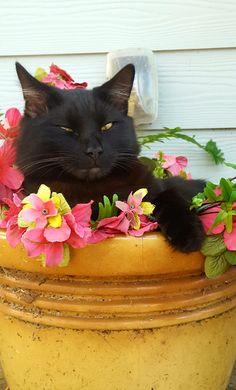 'Bob in flower pot' by cherylt All Black Cat, Black Cats, Natural Cat Litter, Animals And Pets, Cute Animals, Cat Posters, Cat Room, Beautiful Cats, Crazy Cats