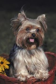 How to Take Care of a Yorkie's Hair around the Eyes - Pets