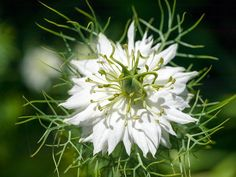 Black seed oil has been used as an ancient remedy for over 2,500 years. Dating back to ancient civilizations, it's highly popular for it's potent antioxidants and healing effects. http://www.myblackseedoil.com/nigella-sativa-benefits/