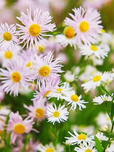 #tall plants Boltonia is a perennial North American native plant that looks like a 6-foot-tall aster. Starry white or pink flowers put on a big fall show. Zones 4-9