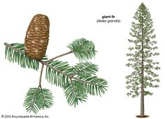 Art:Giant fir (Abies grandis).