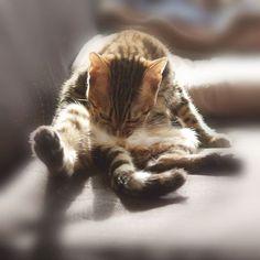 personal grooming  #cat #catsofinstagram #cats #catstagram #instacat #catlover #catoftheday #bengal #bengalcat #oz #ねこ #猫 #ねこ部 #ねこすたぐらむ #猫部