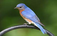 Male Eastern Bluebird!