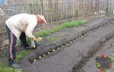 Ha bőséges termést akarsz, így vesd a burgonyát!