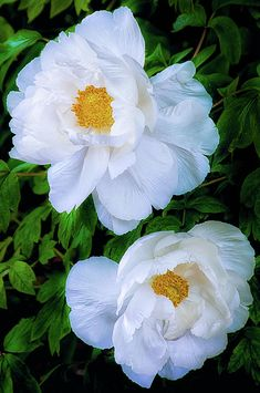 Chinese Tree Peonies by Julie Palencia