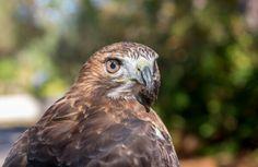 Hawk in Captivity at a Florida Park