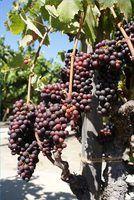 When to plant grape vines
