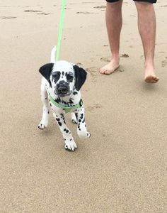 DALMATIAN PUP - Tap the pin for the most adorable pawtastic fur baby apparel! You'll love the dog clothes and cat clothes! Cute Baby Animals, Animals And Pets, Funny Animals, Cute Puppies, Cute Dogs, Dogs And Puppies, Doggies, Dalmatian Dogs, Mundo Animal