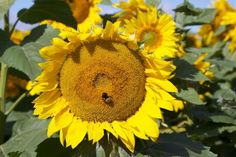 Pictures like this make me smile! Sunflowers and Bees! We love both in #NDag