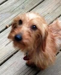 Django is an adoptable Dachshund Dog in Asheville, NC. Django is a purebred wired hair Dachshund. He is sweet and easy going dog according to his foster mom. Django gets along with other dogs.  He ...