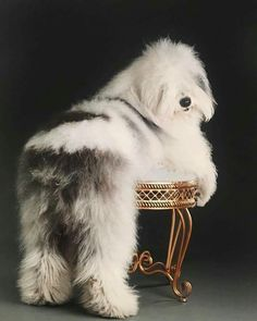 Rocco! Cute Old English Sheepdog & his fluffy bum. #maltese Big Dogs, I Love Dogs, Cute Dogs, Dogs And Puppies, Doggies, Dogs Pitbull, Beautiful Dogs, Animals Beautiful, Old English Sheepdog Puppy