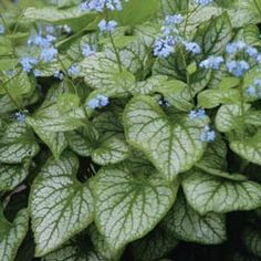 """Brunnera Jack Frost. Variegated light green with silver foliage. Rugged, shade ground cover. Delicate bright blue flowers. Grows 15-18"""" tall and 18"""" wide."""
