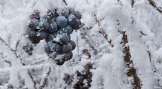 Five Ice Wines to Melt your Heart