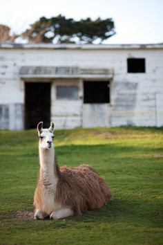 """the stoic llama. Had to repin because it was on a wedding board.  Because Llamas just scream """"WEDDING!!!!!""""  right?"""