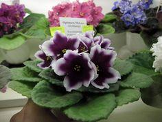 Optimara My Love Purple Love, Purple Flowers, Saintpaulia, Homestead Gardens, Inside Plants, Plant Catalogs, Day Lilies, Live Plants, Pansies