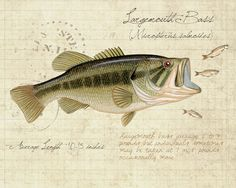Largemouth Bass -8 x10 inch limited edition print by Matt Patterson, natural history, cabin decor, fishing print