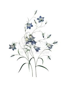High resolution illustration of a bellflower, isolated on white background. Engraving by Pierre-Joseph Redoute. Published in Choix Des Plus Belles Fleurs, Paris .