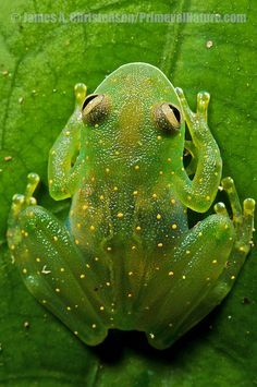 Slope-snouted Glass Frog (Cochranella euknemos), a beautiful uncommon glass frog of Costa Rica, Panama, and N Colombia. Central Panama.