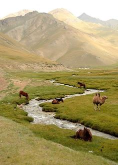 Ride horses and camels in central Asia !  KYRGYZSTAN | Naryn Province Horses, and the token camel...