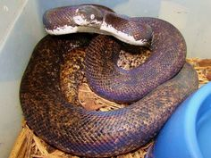 Savu Python.