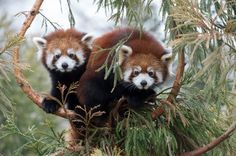 Red Panda Cubs by Julie Larsen Mahr. Courtesy of Wildlife Conservation Society.