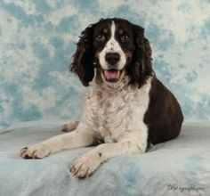 English Springer Spaniel: An adoptable dog in #LasVegas, #NV  Medium • Adult • Female.  Kenzie is looking for her forever home. Please help her find one by sharing this post.  Thanks. Pet ID: SSRI-2012-13 • Up-to-date with routine shots • House trained • Primary colors: Brown or Chocolate, White or Cream • Coat length: Medium
