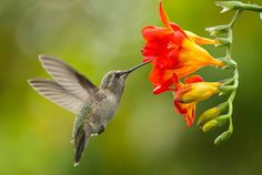 Koliber, Kwiat