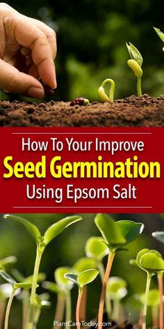 Epsom salts add these key micronutrient into the soil increasing seed germination rates. Studies show that Epsom salt (Magnesium sulfate) is beneficial to the plants from early on helping strengthen plant cell walls during germination. Garden Soil, Garden Seeds, Garden Plants, Indoor Plants, Growing Tomatoes From Seed, Growing Vegetables, Grow Tomatoes, Gardening Vegetables, Growing Plants From Seeds