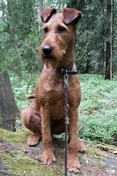Irish Terrier looking regal