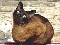 Tonkinese  ~ We had a Tonkinese when I was a kid.. her name was Tonka.. lol