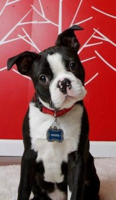 Cooper-Boston Terrier
