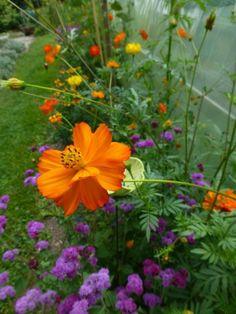 Orangene Kosmee, Schmuckkörbchen, <h2><i>Cosmos sulphureus 'Crest Orange'</i></h2>
