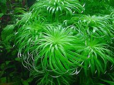 "Syngonanthus Sp. ""Belem"""