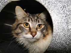 """My name is Pulgas and I am the AAS, Cat of the Week! My owners brought me in because they were allergic to me. I was sad, I would love a FURever home! Volunteers think I am a Norwegian Forest Cat. I am a male and already neutered and I weigh only 7lbs. I am all fluff! I purr and purr and purr and purr even more! I love to be loved on, I am  a TOTAL SWEETHEART!  MyID#18907700.""  Please visit: Arlington Animal Services 1000 SE Green Oaks, Arlington , Texas 76018  Phone: 817-459-5898"