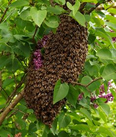 Honey bee swarms are a natural part of beekeeping. Bee swarm to produce new colonies but we beekeepers want them to stay home and make honey! Honey Bee Swarm, Honey Bees, Honey Bee Facts, Bumble Bee Honey, Bumble Bees, Wasp Nest, Buzz Bee, Bee Free, Insects