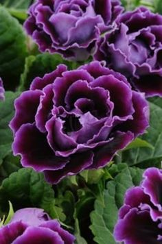 photo: purple flowers with deep green leaves ... luv the shading ....