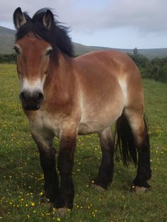 The Ardennes or Ardennais draft horse is one of the oldest breeds.