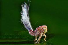 Crazy hair , l'insetto con la cresta da Troll  » Fotografia di Trond Larsen